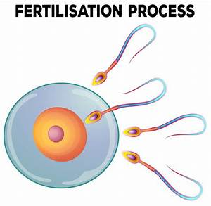 Diagram Of Fertilisation Process