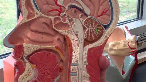 ap  respiratory system walk   anatomy models