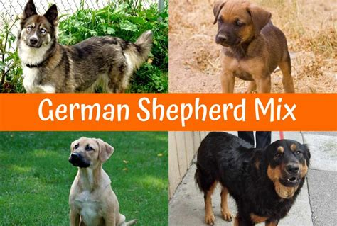 30 dogs that shed the most 100 medium sized non shedding hypoallergenic dogs