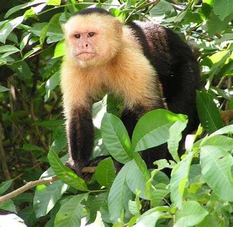 capuchin monkey capuchin monkey wikipedia