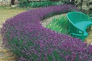 Lavender Hedge Create And Care Quiet Corner