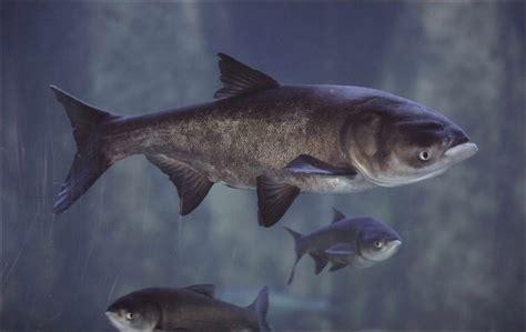 asian fish kaptur urges quick response to asian carp danger toledo blade