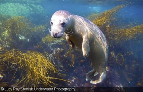 gray seal photography   isles  scilly