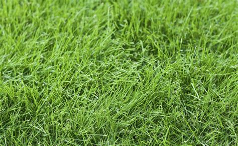 fescue grass types fine fescue care information and tips on using fine fescue for lawns