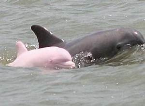 Baby Pink Dolphins