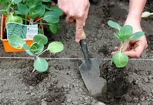 Planter Des Choux Fleurs : chou de bruxelles planter et cultiver ooreka ~ Melissatoandfro.com Idées de Décoration