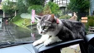 Mei The Cat Fights Windshield Wipers From The Dashboard Of