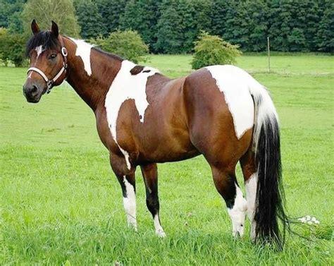 horse cz apha stallion czech republic ideal im same type horses