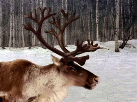 reindeer antler amazing antlers