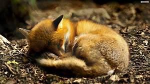 Fox | CuteConnoisseur