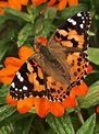 'Painted Lady' butterfly on a 'Zinnia' flower. Photo ...