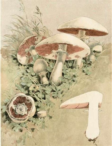 The Mushroom Agaricus Campestris