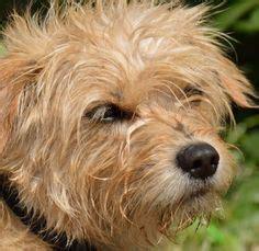 dutch smoushond dogs puppy dutch smoushond dogs