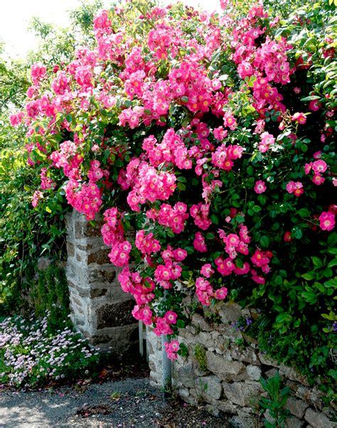 entretenir un rosier en pot 28 images rosier liane fleurbleue rosier liane planter et
