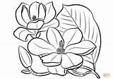 Magnolia Grandiflora Coloring Southern Colorear Colorare Magnolias Printable Disegni Dibujos Dibujo Disegno Outline Flowers Supercoloring Drawings Printables Floral Colors Flor sketch template