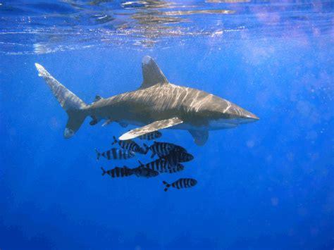 top   dangerous sharks   earth