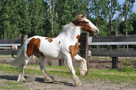 photo horse irish  galop horses  image