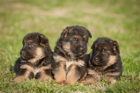Cute Puppy Dogs German Shepherd Puppies