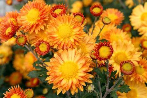 Herbst Blume Im Garten by Blumen Die Im Herbst Bl 252 Hen Das Sind Sie Asklubo