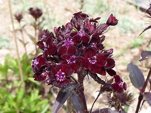 Rote Stauden Winterhart : saatgut samen schwarzrote bartnelke dianthus barbatus ~ Michelbontemps.com Haus und Dekorationen