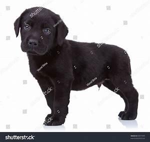 Curious Black Labrador Retriever Puppy Standing Stock ...