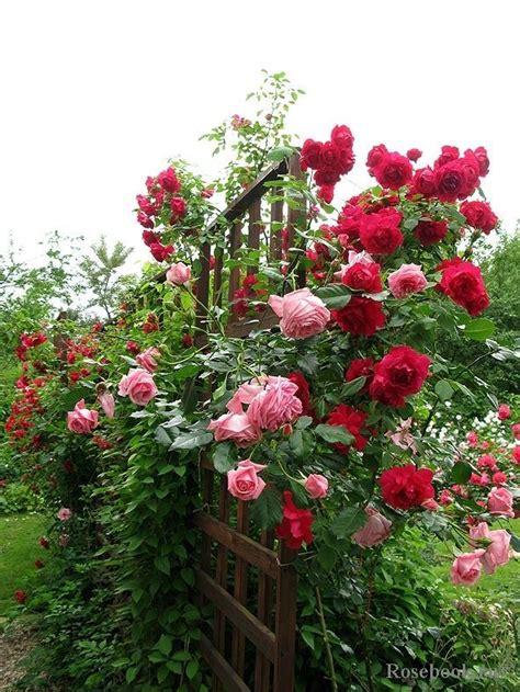 beautiful roses garden beautiful rose bed country gardens pinterest