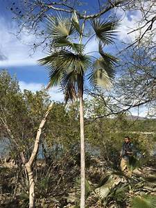 Central Cuba Palms in Habitat - DISCUSSING PALM TREES ...