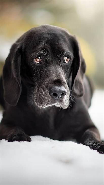 Labrador Retriever Muzzle Wallpapersmug 1280 Howinfo Galaxy