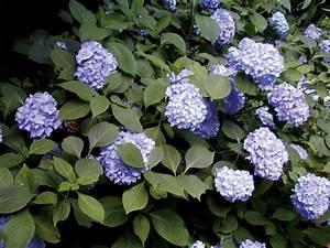Comment Reconnaitre Un Hibiscus D Intérieur Ou D Extérieur : les arbustes pour haies fleuries les plus aim s lesquels ~ Dallasstarsshop.com Idées de Décoration