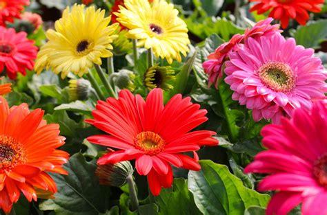 keunikan bunga gerbera  bunga daisy toko bunga