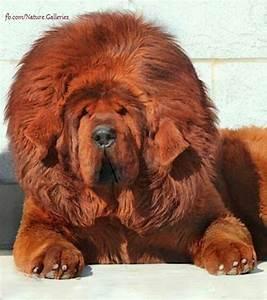 Red Tibetan Mastiff | Animals | Pinterest