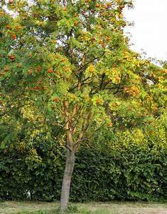 Eberesche Im Garten : vogelbeere pflanzen und pflegen mein sch ner garten ~ Yasmunasinghe.com Haus und Dekorationen