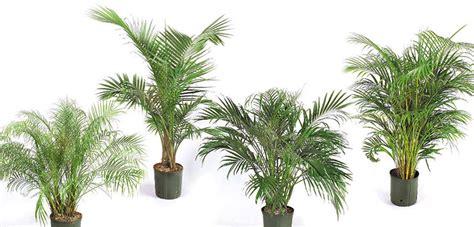 palm houseplant costa farms