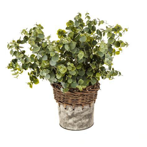 eucalyptus in a pot eucalyptus in a galvanised pot