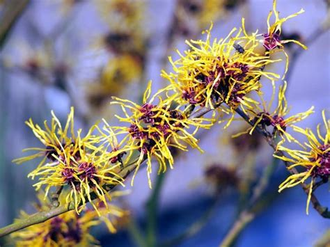 hamamelis virginiana plant hamamelis witch hazel
