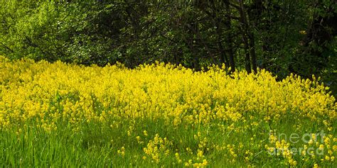 Yellow And White Meadow Flower : Yellow Meadow Flowers Photograph By Lutz Baar