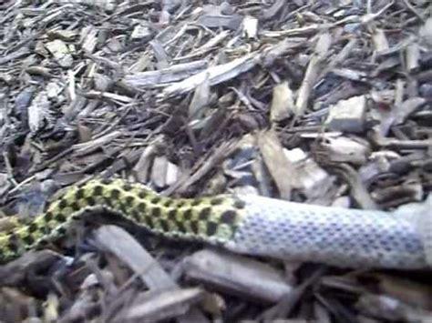 Shedding Snake by Garter Snake Shedding
