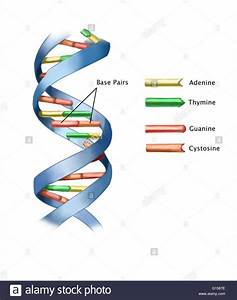 Illustration Of Part Of A Strand Of Dna  Deoxyribonucleic