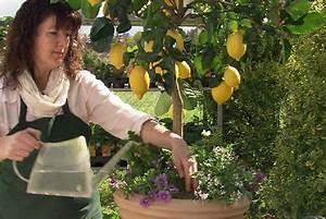Dünger Für Zitronenbaum : der sch ne stern der im garten w chst steiermark heute ~ Watch28wear.com Haus und Dekorationen