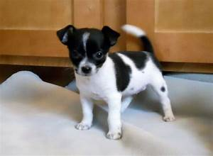 Black and white Teacup Chihuahua | Puppies | Pinterest ...