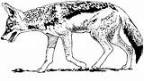 Coyote Coloring Coyotes Animals Walking Wildlife sketch template