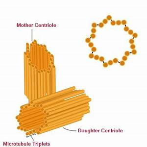 Centrioles | Function, Centriole Structure | Biology ...