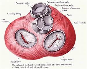 Diagram Of Valve : heart valve anatomy diagram ~ A.2002-acura-tl-radio.info Haus und Dekorationen