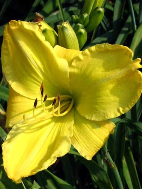 daylily hgtv