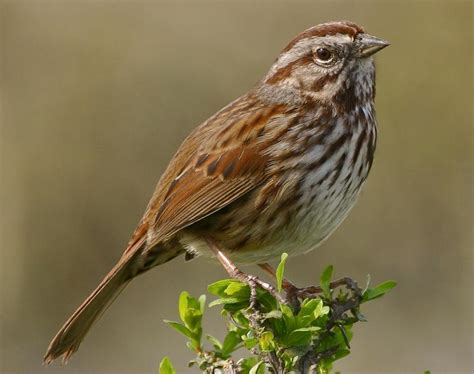 song sparrow songs and calls larkwire