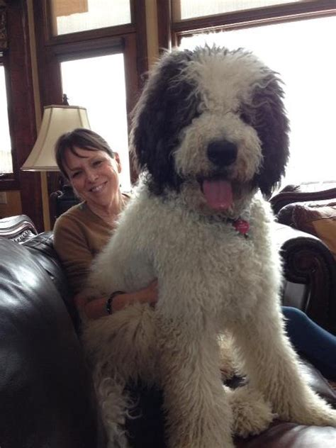 Best Lap Dogs That Dont Shed by 16 Outrageously Adorable Poodle Mixes You Need To See