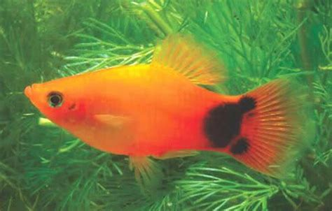 mickey mouse fish sunset mickey mouse platy love platy fish pinterest