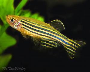 Danio for Sale - AquariumFish.net