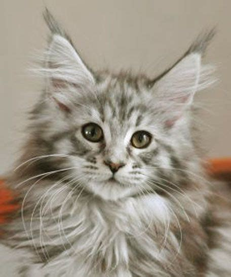 What Is The Average Maine Coon Lifespan Katter