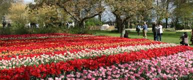 tulips flowers best time to visit keukenhof tulips in